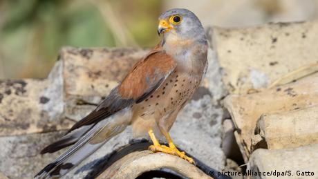 A lesser kestrel stands on a roof (picture-alliance/dpa/S. Gatto)