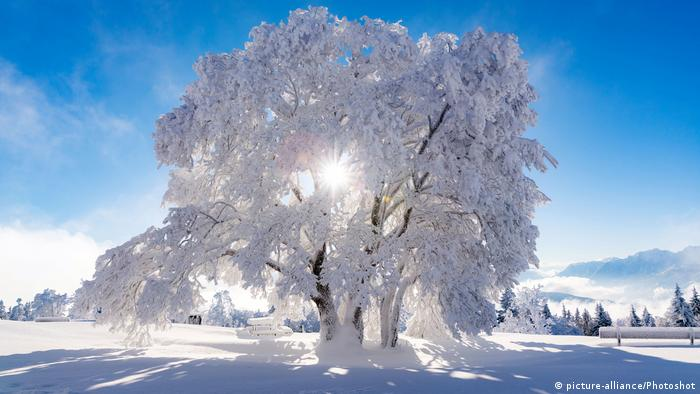 A tree fully covered in white snow in the Salzburg region of Austria