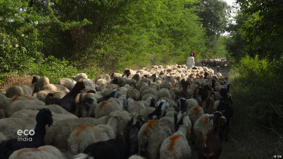 Sheep dung: Fertilizing Rajasthan's fields