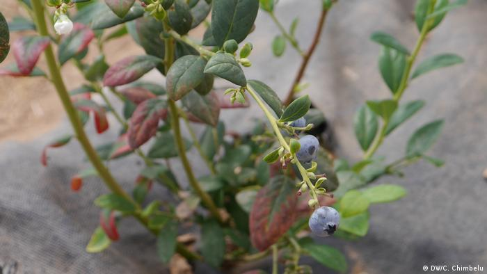 A blueberry shrub at Zambezi Ranch Farm in Zambia