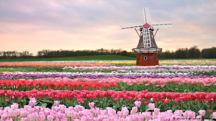 Tulpen, die vor einer Windmühle in den Niederlanden wachsen