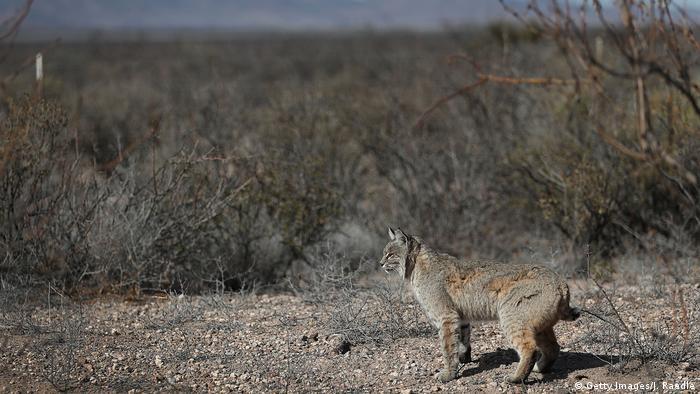 Mexico - Rotluchs an der US Mexikanischen Grenze (Getty Images/J. Raedle)