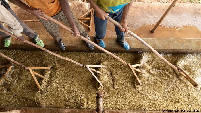 A birds-eye view of workers in Ethiopia raking through pulped coffee beans