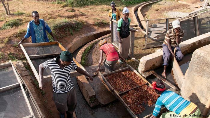 Kaffeeernte ist harte Handarbeit. Hier werden im äthiopischen Sidana Bohnen aussortiert, die den Qualitätsstandards der Kooperative Shebedino nicht genügen.