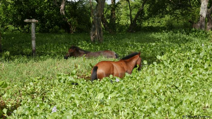 Horses eating plants in the water (DW/Juan Zacharás)