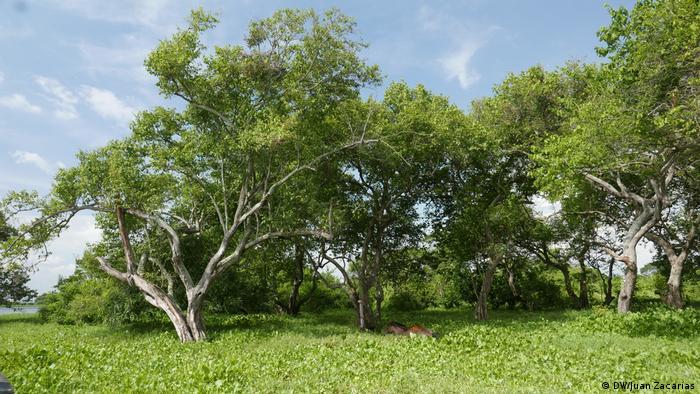 Knorrige Bäume stehen in einem Meer aus grünen Wasserpflanzen (DW/Juan Zacharás)