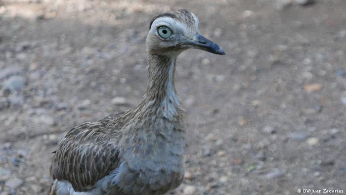 Ein schlankes Huhn auf einer steinigen Straße blickt in die Kameralinse (DW/Juan Zacharás)