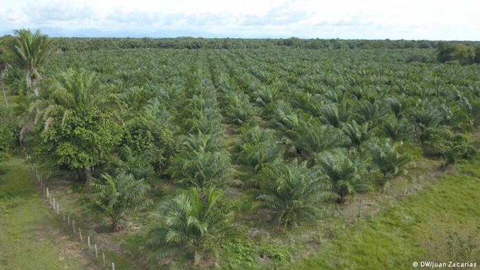 Luftaufnahme einer Palmölplantage (Foto: DW/Juan Zacharás)