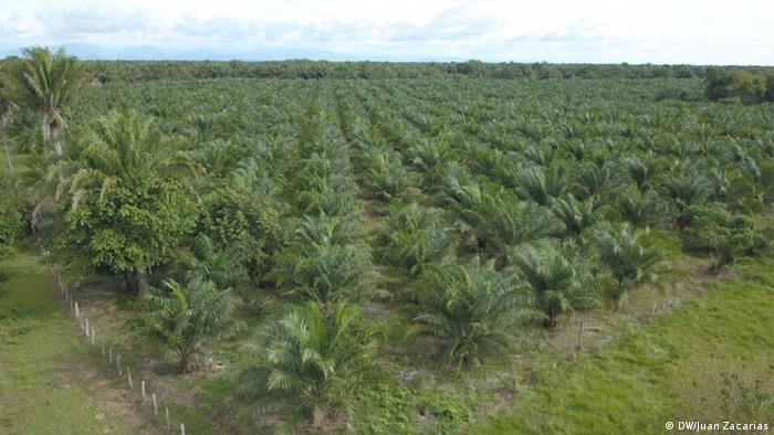 Cultivo de palma aceitera en Colombia.