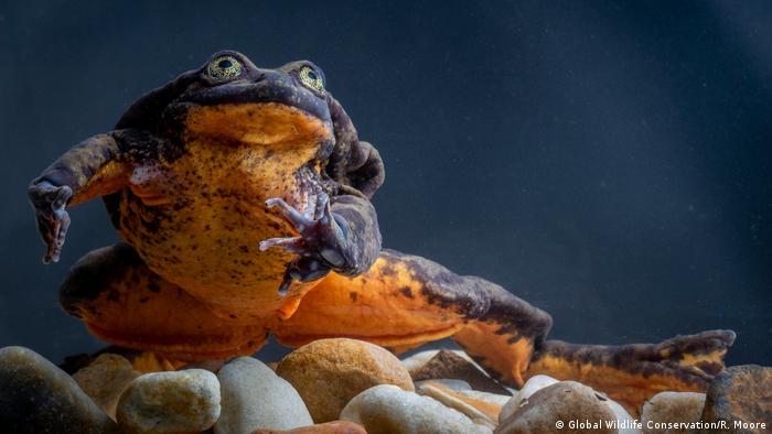 Bolivianischer Wasserfrosch - Romeo (Global Wildlife Conservation/R. Moore)