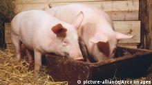 Hausschweine im Stall an Futtertrog / Schwein, Schweine, Trog | Verwendung weltweit