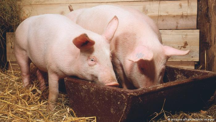 Two pigs eating from a trough (picture-alliance/Arco Images)