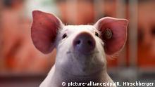 Grüne Woche Berlin | Schweinchen