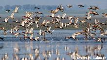 Bangladesch Zugvögel in Tanguar Haor in der Provinz Sunamganj