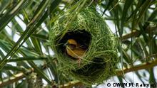 Bangladesch Vogel im Nest