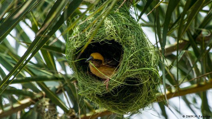 Bangladesch Vogel im Nest (DW/M.M. Rahman)