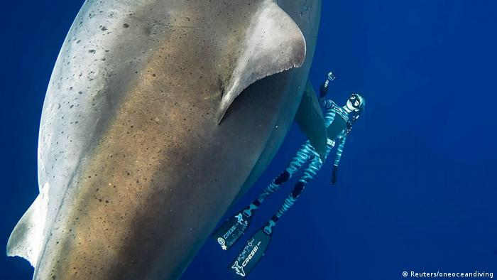 A shark said to be 'Deep Blue', one of the largest recorded great whites, swims near Hawaii (Reuters/oneoceandiving)