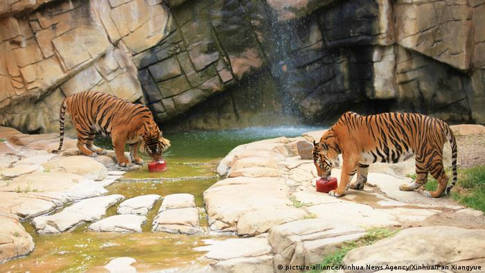 Tigers at Australian Zoo enjoy an ice cream made of meat and blood as heat wave sweeps through the country