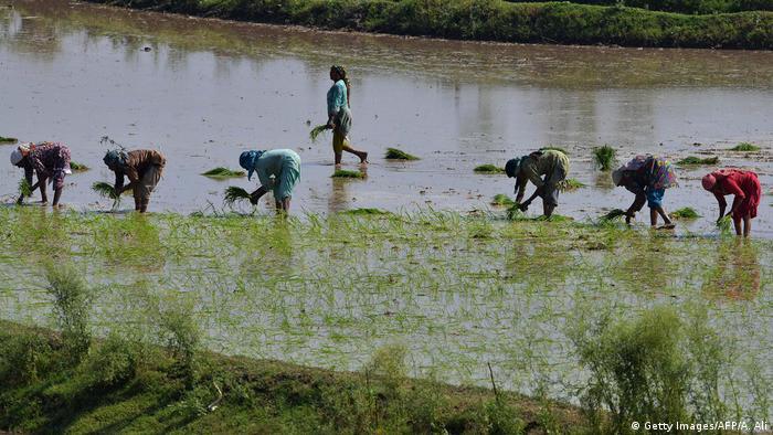 Pakistan Lahore Anbau von Reis