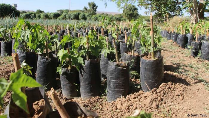 Äthiopien Haramaya University, Forschung Chaya-Pflanze