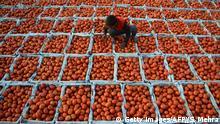 BdTD Indien Tomaten werden auf einem Gemüsemarkt sortiert