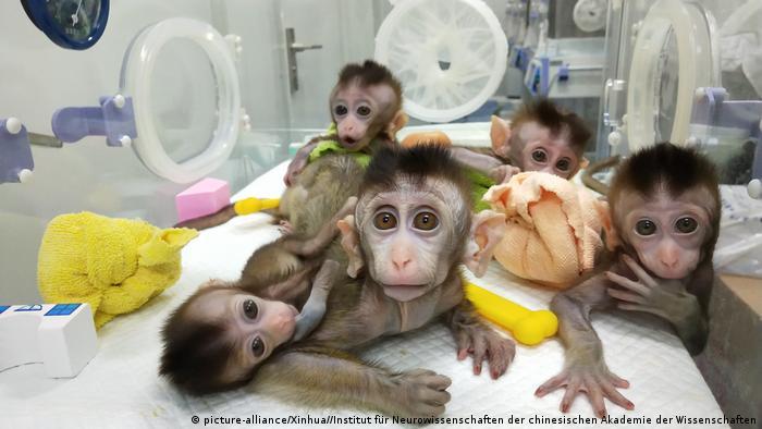 China Shanghai - China klont erstmals mehrere genveränderte Affen