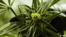 Cannabis gegen Schmerzen
