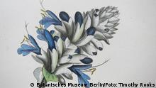 Alexander von Humboldt Blumen Salvia leucocephala