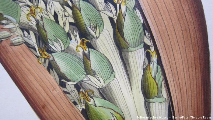 Desenho do detalhe de uma palmeira Attalia amygdalina