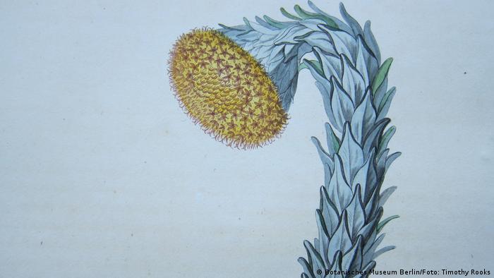 Desenho da planta Culcitium reflexum