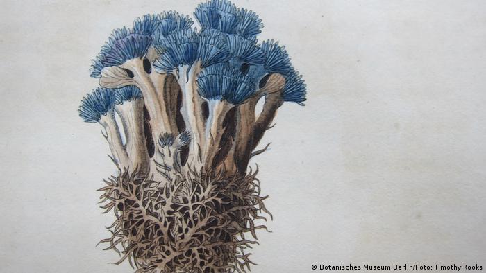Desenho de uma Corallophyllum caeruleum