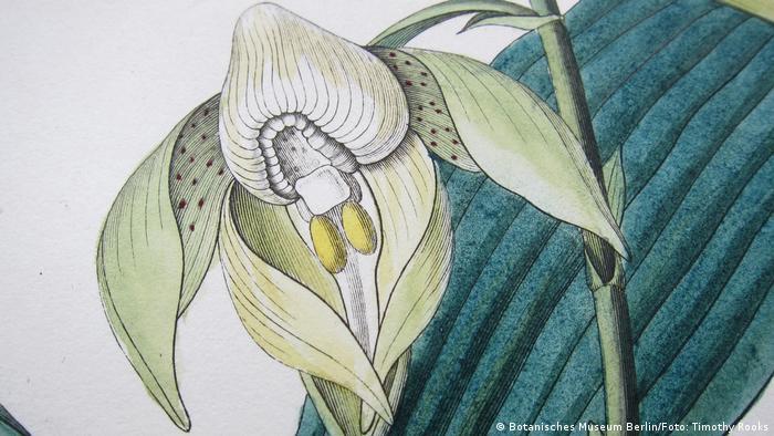 Desenho de uma orquídea Catasetum maculatum