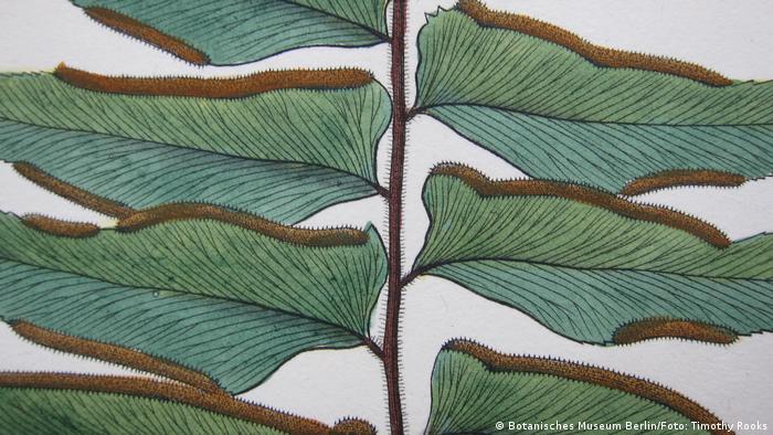 Desenho da folha de uma Adiantum varium