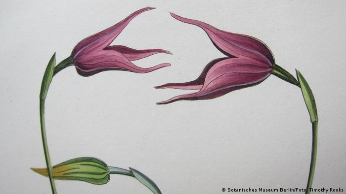 Desenho da flor de uma orquídea Masdevallia uniflora