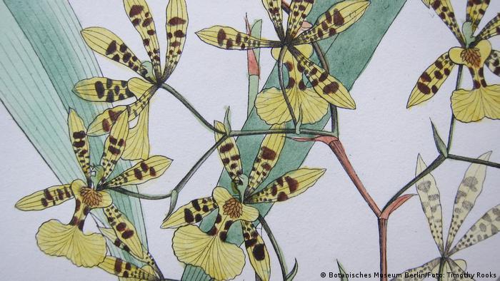Desenho da orquídea Oncidium pictum