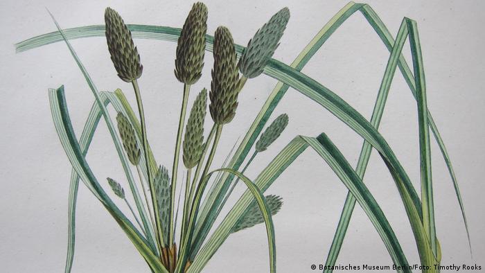 Desenho da planta Mariscus pycnostachyus