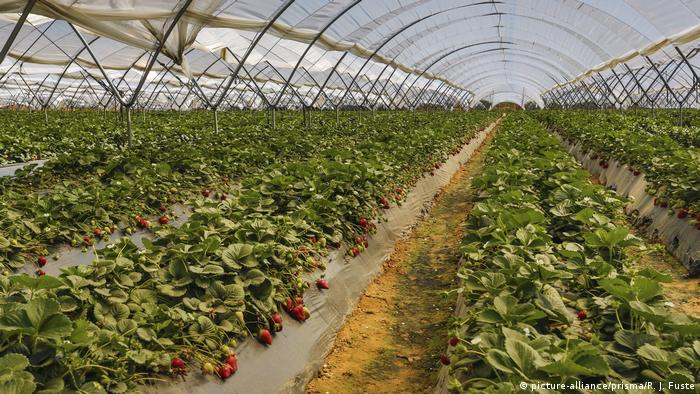 A greenhouse of strawberries in Huelva, Spain
