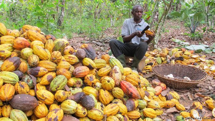 Un trabajador en una plantación de cacao.