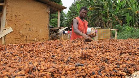 A man sorting through cocoa beans