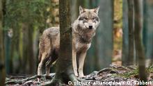 Deutschland ein Wolf im Tierpark Hexentanzplatz
