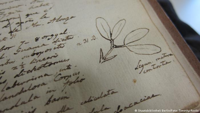 A botanical detail in volume I of Humboldt's original journals labeled 'Legum. matura contorta' it was sketched in Cumana, in present-day Venezuela in 1799 — photo by Timothy A. Rooks