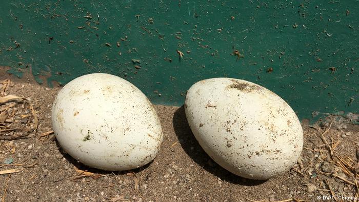 Peru Pinguin-Eier (DW/C. Chimoy)