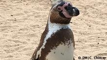 Peru Humboldt Pinguin (DW/C. Chimoy)