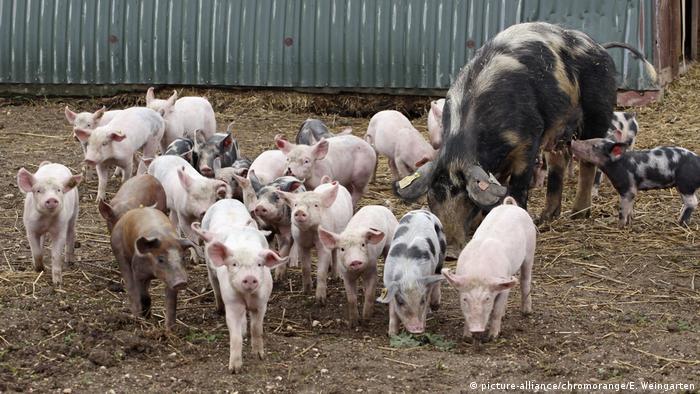 Schweinezucht (picture-alliance/chromorange/E. Weingarten)