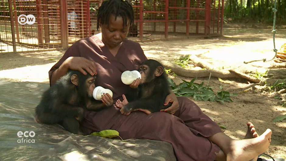 Liberia's chimpanzee orphanage