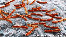 Bakterien der menschlichen Darmflora