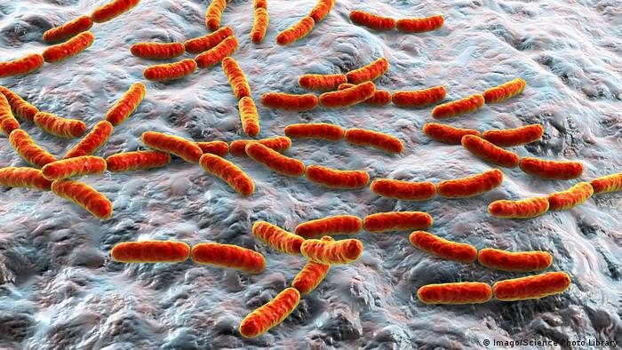 Lactobacillus bacteria found in the gut