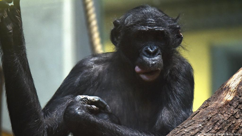 Banobo Bonobo Brought