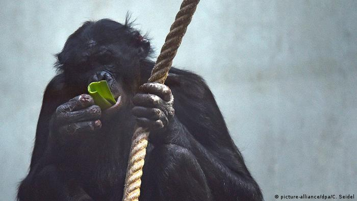 Deutschland Bonobo-Affe Bili im Wuppertaler Zoo