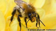 Deutschland Landwirtschaft - Biene - Bienensterben